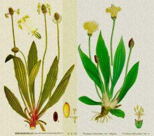 теснолист живовляк (Plantago lanceolata)
