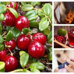 Червена боровинка – съкровището, което трябва да присъства във всяка домашна аптечка
