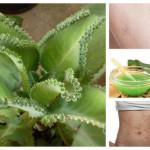 Каланхое – вълшебното цвете, което лекува 101 болежки