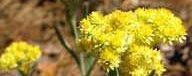жълт смил за лечение и прочистване на увеличен черен дроб