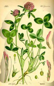 Trifolium pratense червена детелина