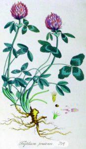 Trifolium pratense червена детелина ботаника