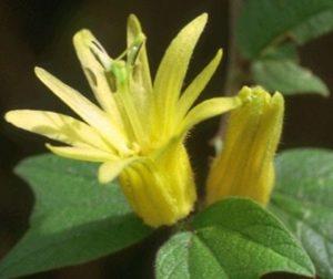 жълта пасифлора