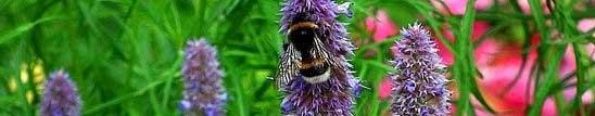 мед от лофант, чай, семена, разсад, цена