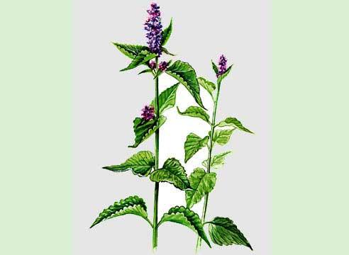 лофант чай, семена, разсад, отглеждане, цена