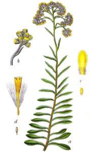 безсмъртниче жълт смил - 011 - билка и цвете
