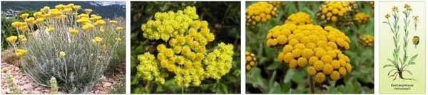 безсмъртниче жълт смил - 06 - рецепти, какво лекува, лечение