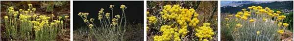 безсмъртниче жълт смил - 05 - отглеждане, пазар, цена