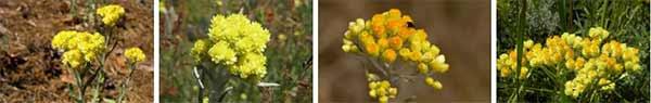 безсмъртниче жълт смил - 04 семена, разсад