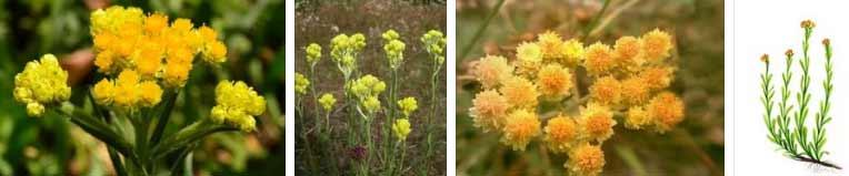безсмъртниче жълт смил - 03 хелихризум