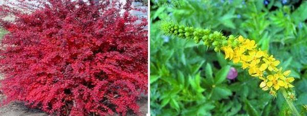 За лечение на Ешерихия коли: червен берберис, камшик.